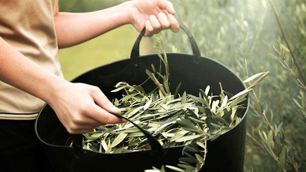 Zeytin yaprağı çayı nasıl yapılır oluyor